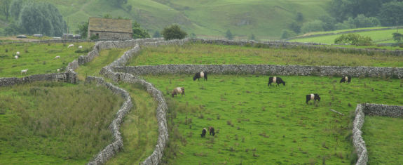 Belted Galloway above Malham. Part of the Hill Top Farm stock.