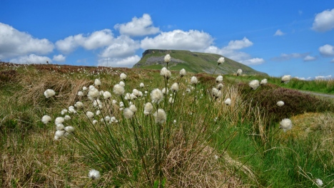 Cotton grass in front of Ingleborough
