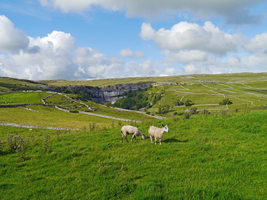 Bluefaced Leicesters in Malham