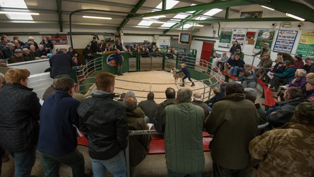 Hawes Auction Mart: Tup Sales in October