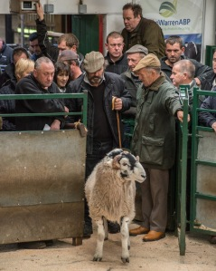 Hawes Auction Mart, Swaledale Tup Sale