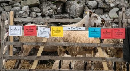 Mule sheep at Malham Show 2016