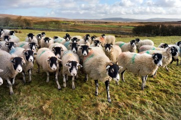 Swaledales at Ribblehead