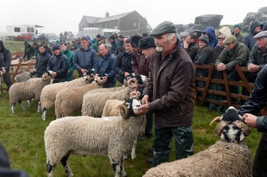 Tan Hill Open Swaledale Sheep Show