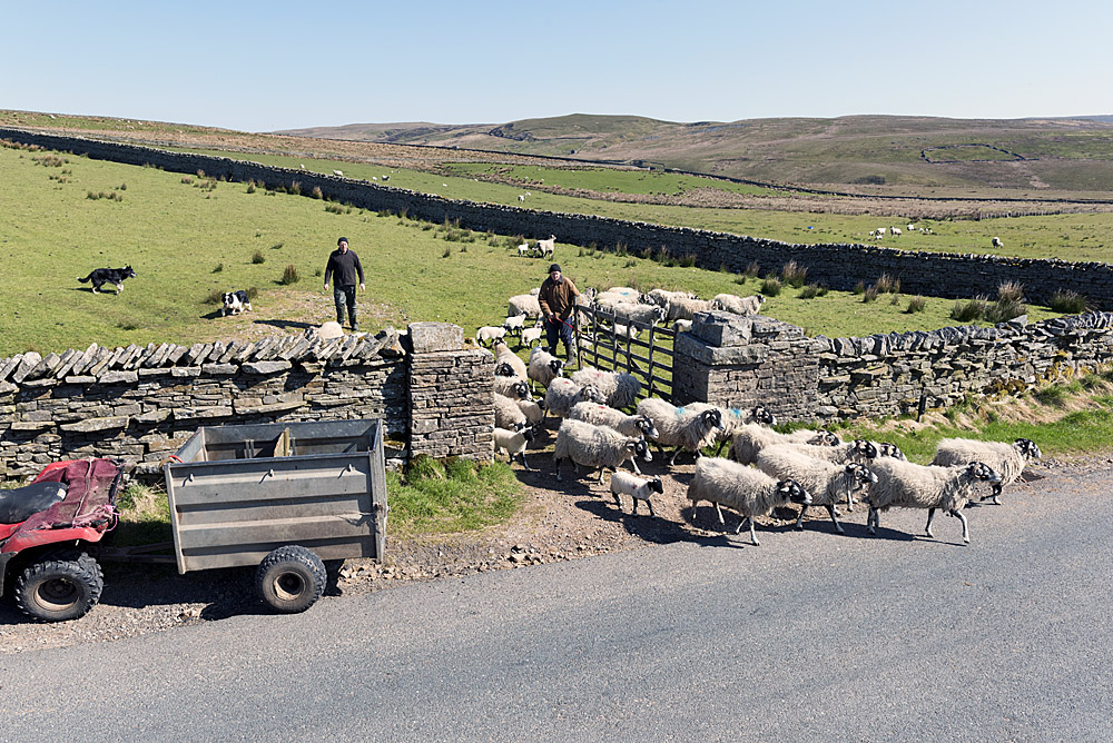 Swaledale, Yorkshire Dales, bringing ewes and lambs down to the farm