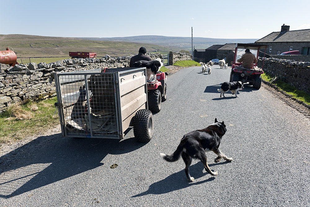 Yorkshire Dales, Farmers driving sheep to the farm for tagging