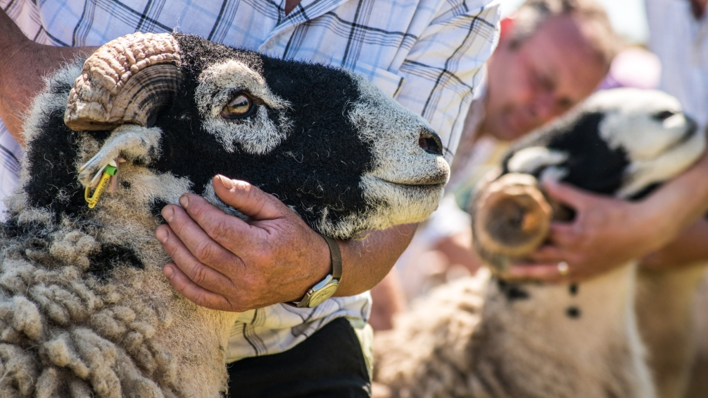 Cupping the head of a Swaledale in the line to be judged