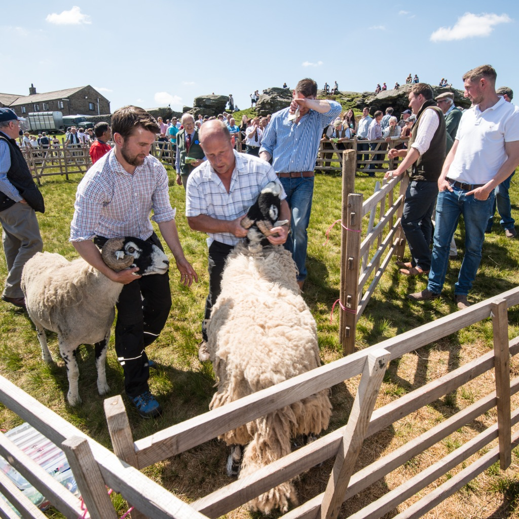 bringing the sheep out of the ring at the end of judging