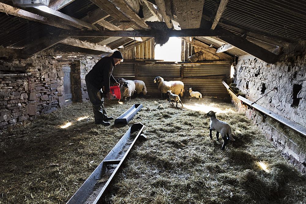 Sheep and lambs at Hoggarths Farm, Keld