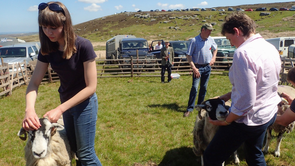 holding the sheep in the judging enclosure.