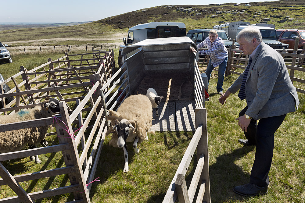 Unloading a ewe and lamb at Tan Hill Show