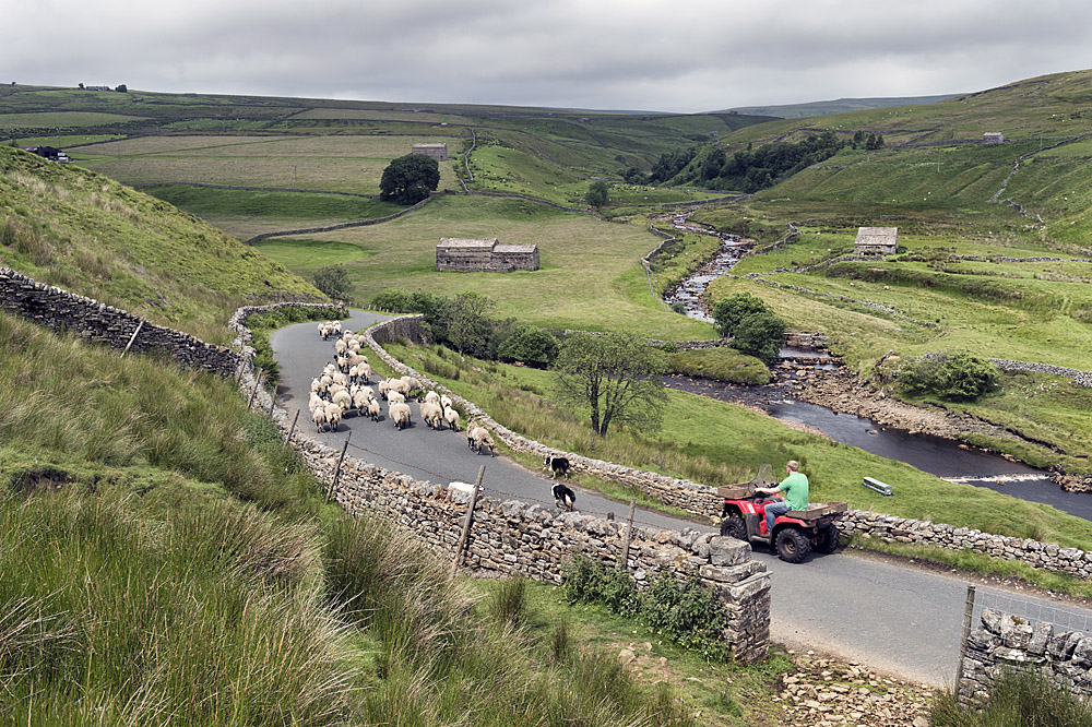 Bringing swaledales from the pastures to the farm for shearing