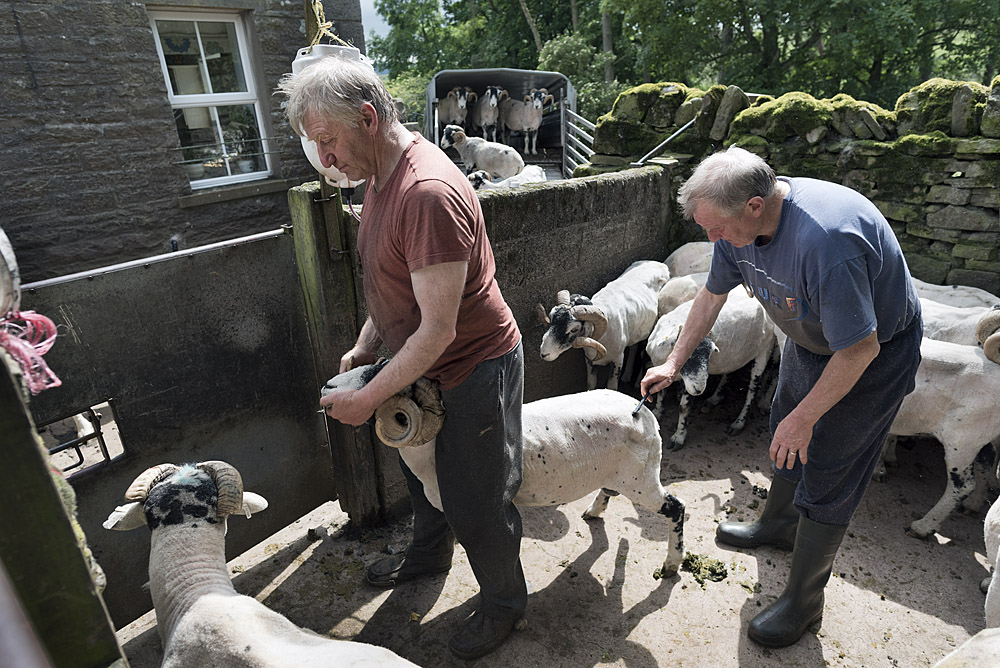 Marking and medicating sheep after shearing at Hoggarths Farm on a day of sunshine in July.