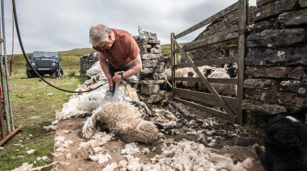 Shearing one of the Swaledales
