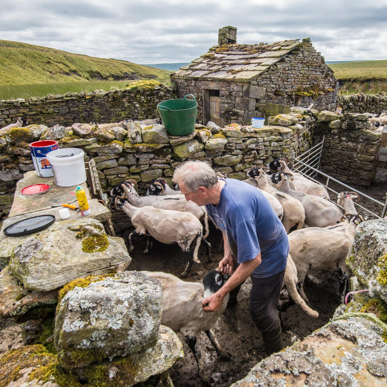 Chris Calvert marking up one of the newly shorn sheep
