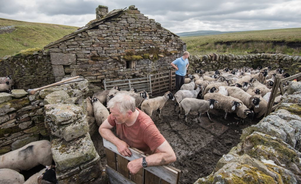 Looking over the flock to count the number remaining to be sheared