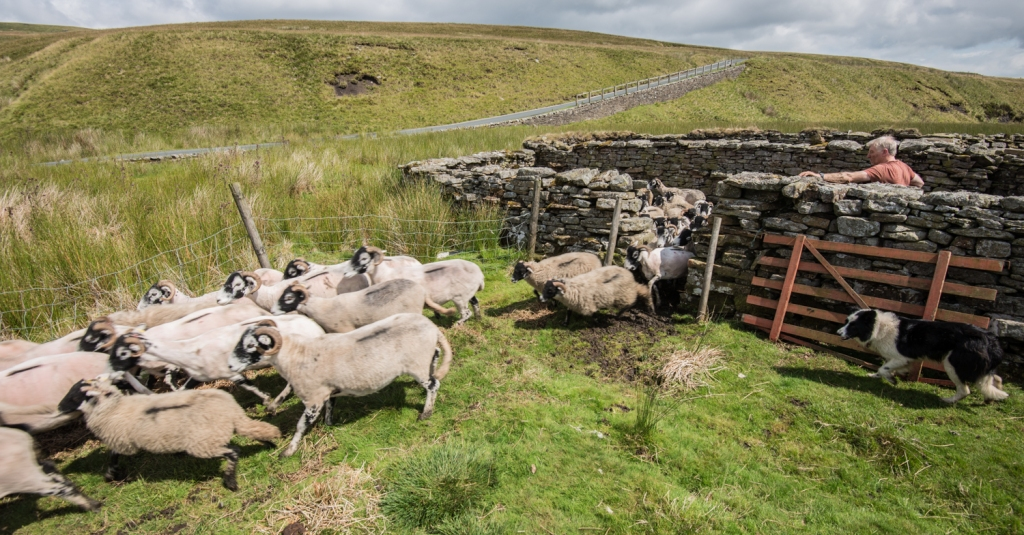 Released from the pen to go back out on to the fell.